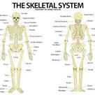 Art Print: The Skeletal System Anterior andior View Anatomical Chart S