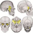 Sphenoid Bone   The Definitive Guide   Biology Dictionary
