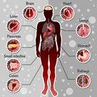Human internal organs template vector image on VectorStock