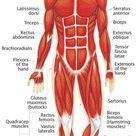 Muscular System - Human Body