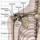Anatomy Stock Images   shoulder-anterior-bones-tuberculum-majus-minus-caput-humeri-humerus-scapula-clavicula-acromion-processus-coracoideus-transpar...