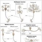 What is a Nerve Cell? (with pictures)