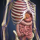 Human midsection with internal organs. 1000 Piece Puzzle. Human midsection with internal organs.