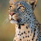 Close-up Of Leopard Panthera Pardus by Panoramic Images