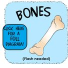 Your Bones (for Kids)