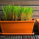 Lemongrass Winter Care: How to Prepare for the Cold   Gardener's Path