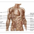 A1 Poster. Anatomy of human abdominal muscles