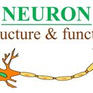 Neuron Anatomy And Physiology In Hindi Urdu | Neuron Structure And Function | Types Of Neurons
