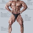 Anatomy Male Muscular System Anterior View Stock Photo Edit Now 127113875
