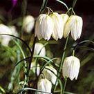 Fritillaria meleagris var. unicolor subvar. alba White flowered snake's head fritillary 'Alba' Care Plant Varieties & Pruning Advice