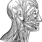 Facial Nerves Free Stock Photo - Public Domain Pictures