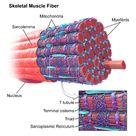 Skeletal muscle - Wikipedia, the free encyclopedia