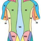 Spinal nerves   Human Anatomy