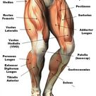 Human Leg Muscle Diagram Diagram Of Thigh Muscles Thigh Muscles | Best Diagram Collection