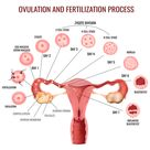 Female reproductive system and its main parts on white background realistic vector illustration