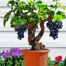 Miniature Grape Vine Seeds