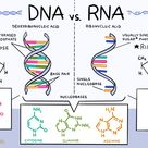 Do You Know the Differences Between DNA and RNA?