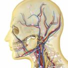Framed Photo. Human face and neck area with nervous system,