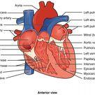 Heart Anatomy | Anatomy and Physiology II