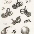 Poster Print. Anatomy of the human ear