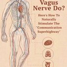 What Does The Vagus Nerve Do & How Can You Stimulate It   Nerve health, Vagus nerve, Nerve