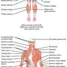 Musco-Skeletal System Diagram