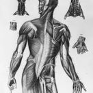 1000 Piece Puzzle. Human Musculature