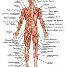Anatomisches Brett, männliche Anatomie, anatomischer Körper des Menschen, menschliches Muskelsystem, Oberflächenanatomie, Körperformen, Seitenansicht, Ganzkörper