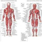 Human Body Muscles Diagram