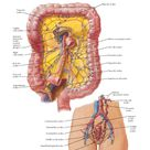 Lymph Vessels and Nodes of Large Intestine Anatomy