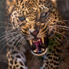 Astonishing pic of a Leopard