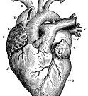 Antique medical scientific illustration high-resolution: heart