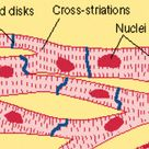 Multiple Choice Quiz on Muscular tissues