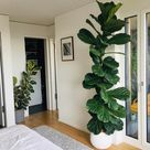 My ficus lyrata in the front and ficus elastica in the back (both around 3 years old)