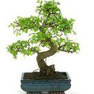 (Ceramic Pot) Bonsai Fukien Tea Tree (Live Plant) - Liner/Starter