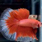 Red full moon Betta fish