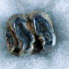 0.6 Trichechus SP Fossil Manatee Tooth Pleistocene Epoch Withlacoochee River, FL
