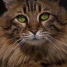 Largest Domestic Cat