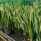 DIRECT FROM HAWAII! - Sansevieria / Dracaena / Snake Plant Trifasciata Cutting