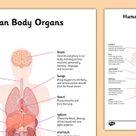 KS2 Major Organs of the Human Body Worksheet