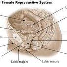Female Reproductive Lymphatic System DIAGRAM