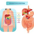 Human Digestive System Anatomical Vector Illustration Diagram With Inner Organs. Stock Vector - Illustration of duodenum, appendix: 116300026