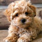 Maltese Poodle Mix