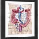 Large Framed Photo. Anatomy of human abdominal vein system