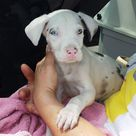 Dane Puppies
