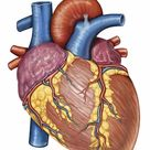 Large Framed Photo. Gross anatomy of the human heart