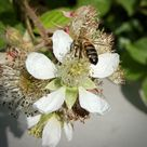 Adopt a Bee with Gwenyn Gruffydd