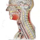 Cross-Section Human Head Brain Anatomy Lithograph Illustration To Frame 1920