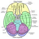Middle cerebellar peduncle - Wikipedia