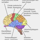 Gehirn Aufbau und Funktion